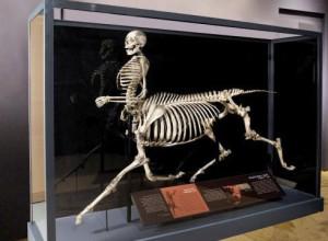 Скелет кентавра в музее в Бриджпорте