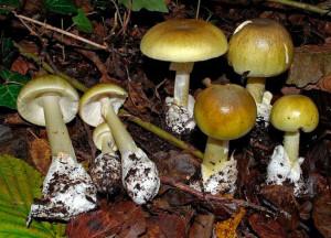 После смерти Клавдия и его обожествления сенатом Нерон сказал: «Грибы — это пища богов. Ведь, поев грибов, Клавдий стал божественным».