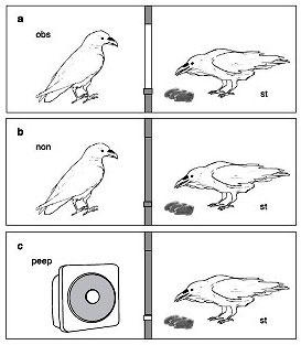 Схема эксперимента биологов. Изображение: T. Bugnyar